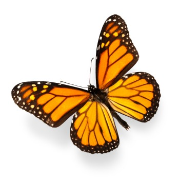 Flawless Monarch Butterfly Flying on Isolated White