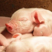 Looming Worldwide Pig Shortage