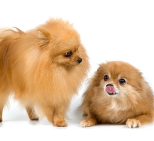 Small Dogs Like Pomeranians are Typical in Brazil