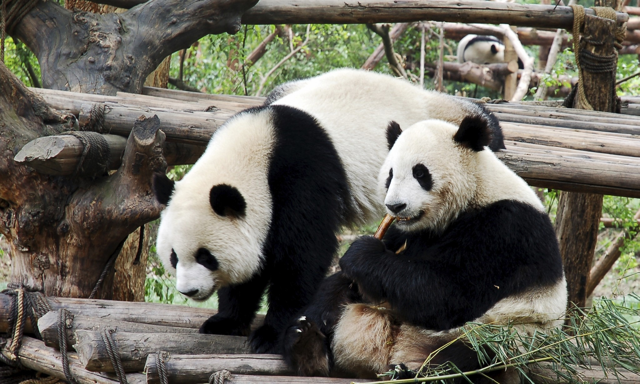 Is the Price of Protecting Pandas Too High?